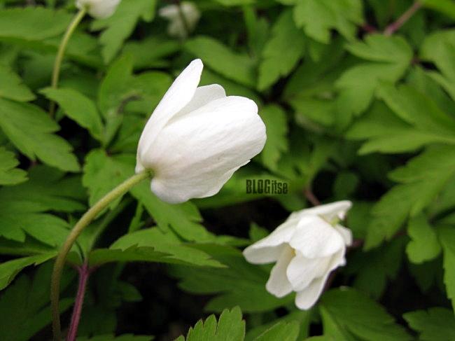 wood anemones (Anemone nemorosa) by BLOGitse