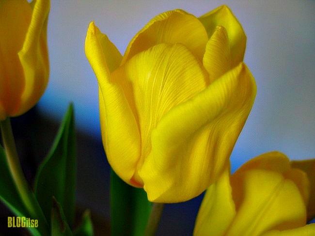 Monday Mellow Yellow tulip by BLOGitse