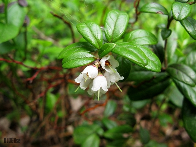 lingonberry flower by BLOGitse