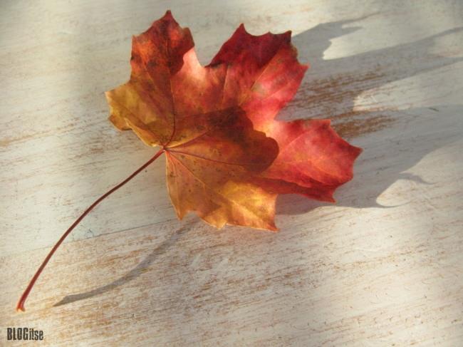 maple leaf by BLOGitse