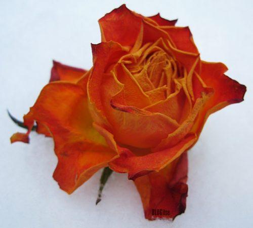 a rose on snow by BLOGitse