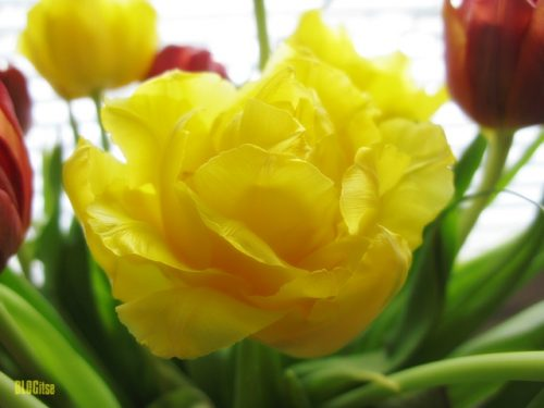 birthday tulips by BLOGitse