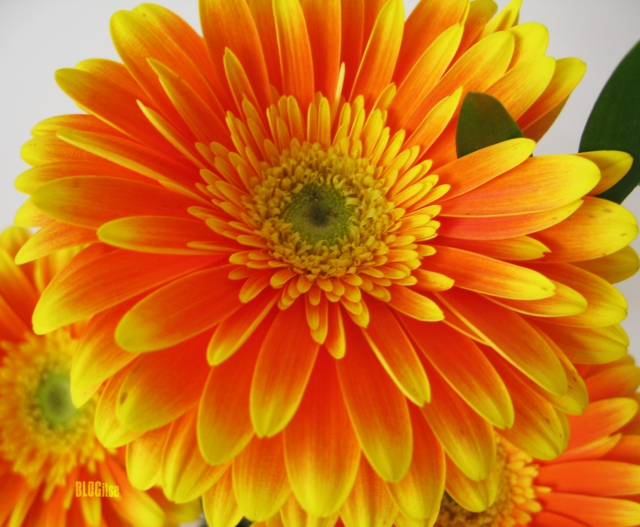 orange gerbera by BLOGitse