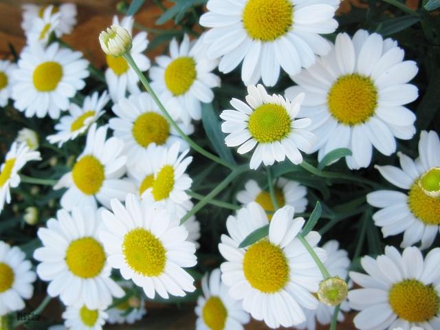 daisy by BLOGitse