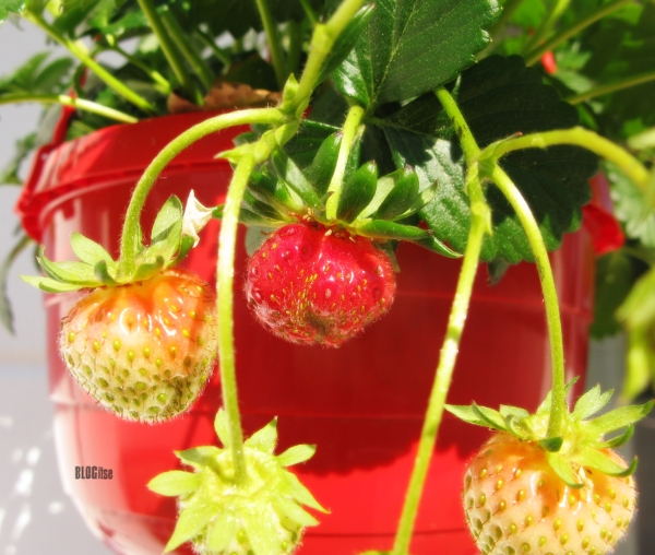 strawberries in hanging basket June 2019 by BLOGitse