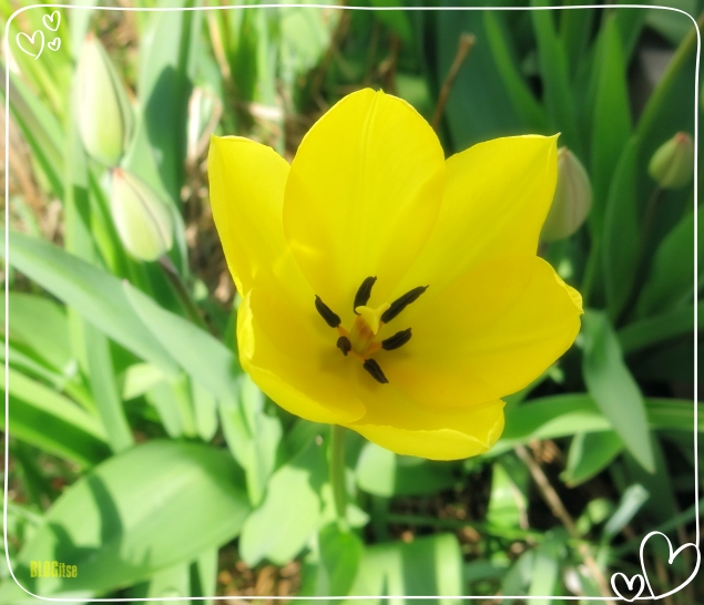 tulppaani kevät 2020 by BLOGitse