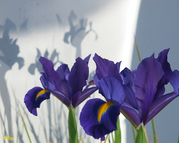 irises with shadows by BLOGitse