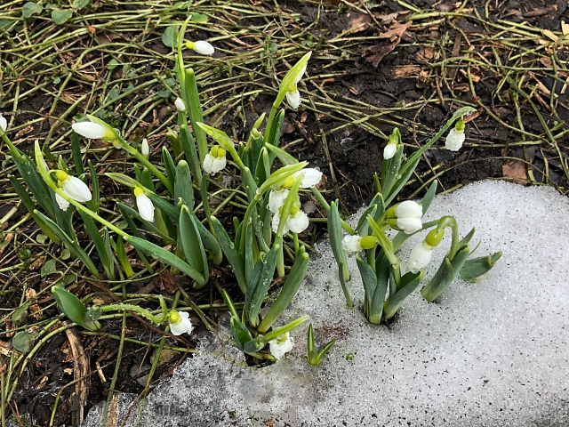 snowdrops by BLOGitse