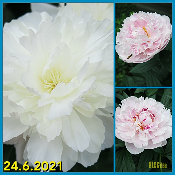 blooming peonies 24.6.2021 by BLOGitse