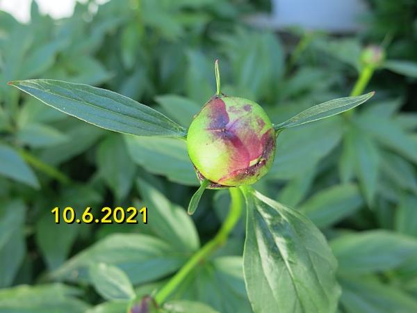 peony bud 3.6.2021 by BLOGitse