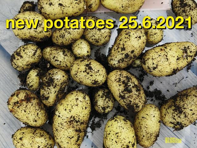 new potatoes 25_6_2021 by BLOGitse